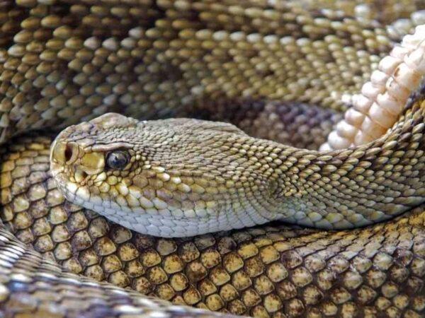 Diferencias entre culebras, serpientes y víboras